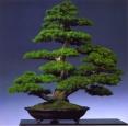 Danny Use - Pinus pentaphilla - Kabudachi 78cm (fora da competição)