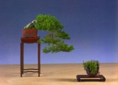 2˚prêmio (Shohin) - Ab Demmendal - Juniperus chinesis/Shimpaku Kengai 29cm