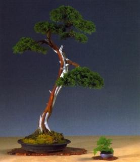 Marc Keteller - Juniperus rigida - Sharimiki 82cm