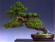Danny Use - Pinus thumbergi - Shakan 61cm (fora da competição)