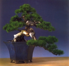 Juraj Marcinko - Pinus mugo - Han Kengai 68cm