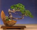 1˚ premio (tamanho médio) Luis Vallejo - Pinus sylvestris - Sokan/Han Kengai 50cm