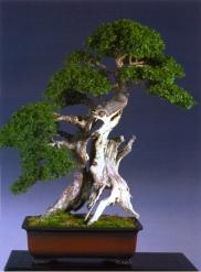 Danny Use - Ulus parvifolia - Sharamiki 80cm (fora da competição)