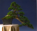 John Hanby - Juniperus chinesis - Kenagai 65cm