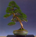 John Hanby - Juniperus chinesis - Moyogi 85cm