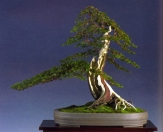 Kevin Wilson - Taxus baccata - Moyogi 72cm