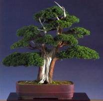 Colin Lewis - Juniperus media blaaauwi - 68cm