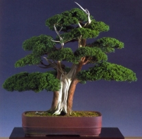 Colin Lewis - Juniperus media blaaauwi - 68cm