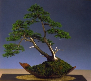 Hans Van Meer - Chaemaciparis obtusa nana - Soju 77cm
