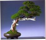Dannu Use - Juniperus chinesis - Shakan 86 cm (Fora da competição)