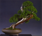 Ludo Goeyvaerts - Juniperus chinesis