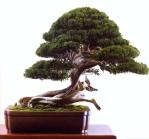 Bonsai de Akio Kato