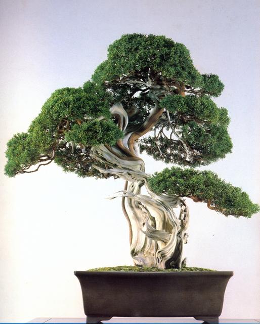 Árvore da semana – Juníperus 300 anos (05/04) | Aido Bonsai