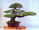 Pinus pentaphyila (64cm)