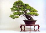 Pinus densiflora (61cm)