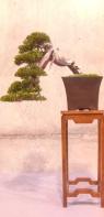 Jordi Ugenia - Juniperus sabina