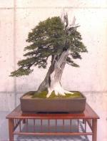 Joseph Berch - Taxus baccata
