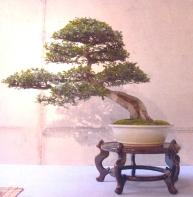 Peo Ferer - Ulmus parvifolia