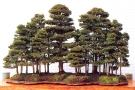 Chamaecyparis obtusa - 95cm de altura e 160cm comprimento