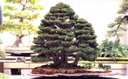 Chamaecyparis obtusa 70cm (premiado na 78˚ Kokufu Ten)