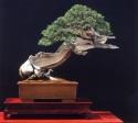 2˚lugar - Walter Pall - (Juniperus sabina)