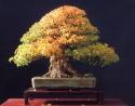 3˚prêmio - Walter Pall (Acer burgearium)