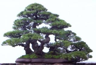 1˚lugar - Robert Steven (Casuarina equisetifolia)