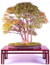 Acer buergerianum - 66 cm Premiado 65˚Kokufu BonsaiTen