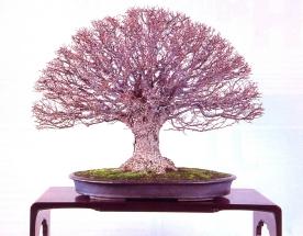Zelkova serrata - 50 cm