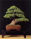 2˚ lugar/ Melhor Bonsai - Pinus sylvestris ( José Luis Blasco Paz)