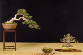 Prêmio- Melhor Shohin e melhor apresentação / Juniperus sabina- Acer burgerianum (Ramon Pineda Polo)