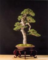 Melhor árvore de origem Européia - Pinus sylvestris (Manuel Frontan Salas)