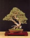 Juniperus phoenica - Gabriel Romero Aguade (Espanha)