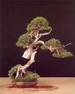Juniperus sabina - Gabriel Romero Aguade (Espanha)