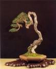 Pinus sylvestris - Giorgio Castagneri (Italia)