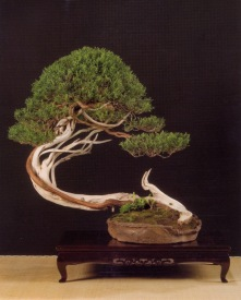 Juniperus sabina - Patrizia Cappellaro (Italia)