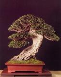 Olea europaea sylvestris - Joan Tomas Canelles (Espanha)