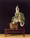 Juniperus procumbens - Hervé Dora (França)