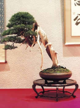 Juniperus chinensis - 70cm (premiado no 78˚Kokufu Ten)