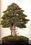 Resolução 800 x 600 - Needle juniper 500 anos