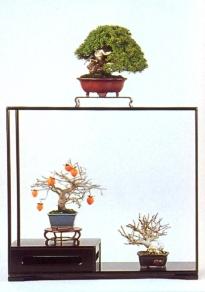 Juniperus chinensis (64cm) - Diospyros rhombifolia (64cm) - Acer Palmatum (64cm)