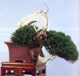 Juniperus chinensis (34cm)