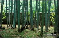 Bambu garden.