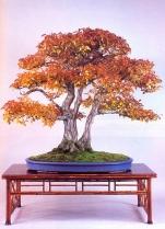 Carpinus turczanovii - 66cm