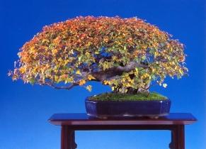Acer buergerianum - 601971cm Premiado Sakufu Bonsai e Kokufu Bonsai