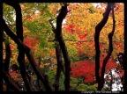 Árvore tipica do Japão Momiji