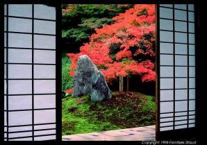 Árvore tipica do Japão Momiji em jardim japonês.