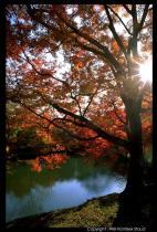 Árvore tipica do Japão Momiji no palácio de Sento.