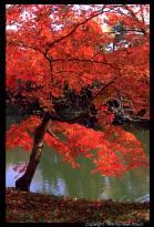 Árvore tipica do Japão Momiji.