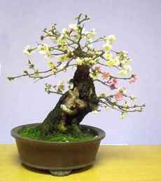 prunus-mume-alba-bonsai